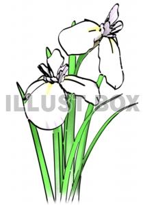 真っ白な菖蒲の花