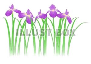 菖蒲の花3