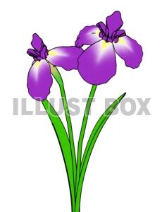 菖蒲の花5