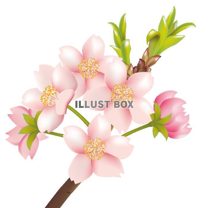 無料イラスト 透過pngイラスト 桜の花04
