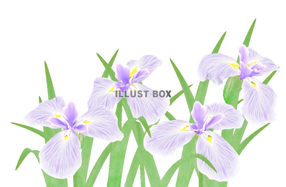 菖蒲の花6・薄紫