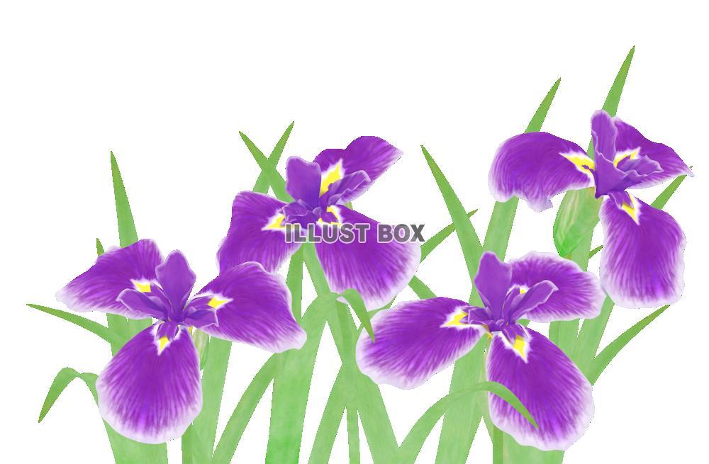 無料イラスト 菖蒲の花6紫