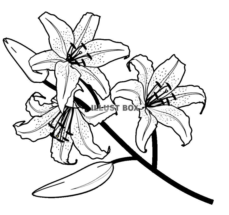 無料イラスト 百合の花2