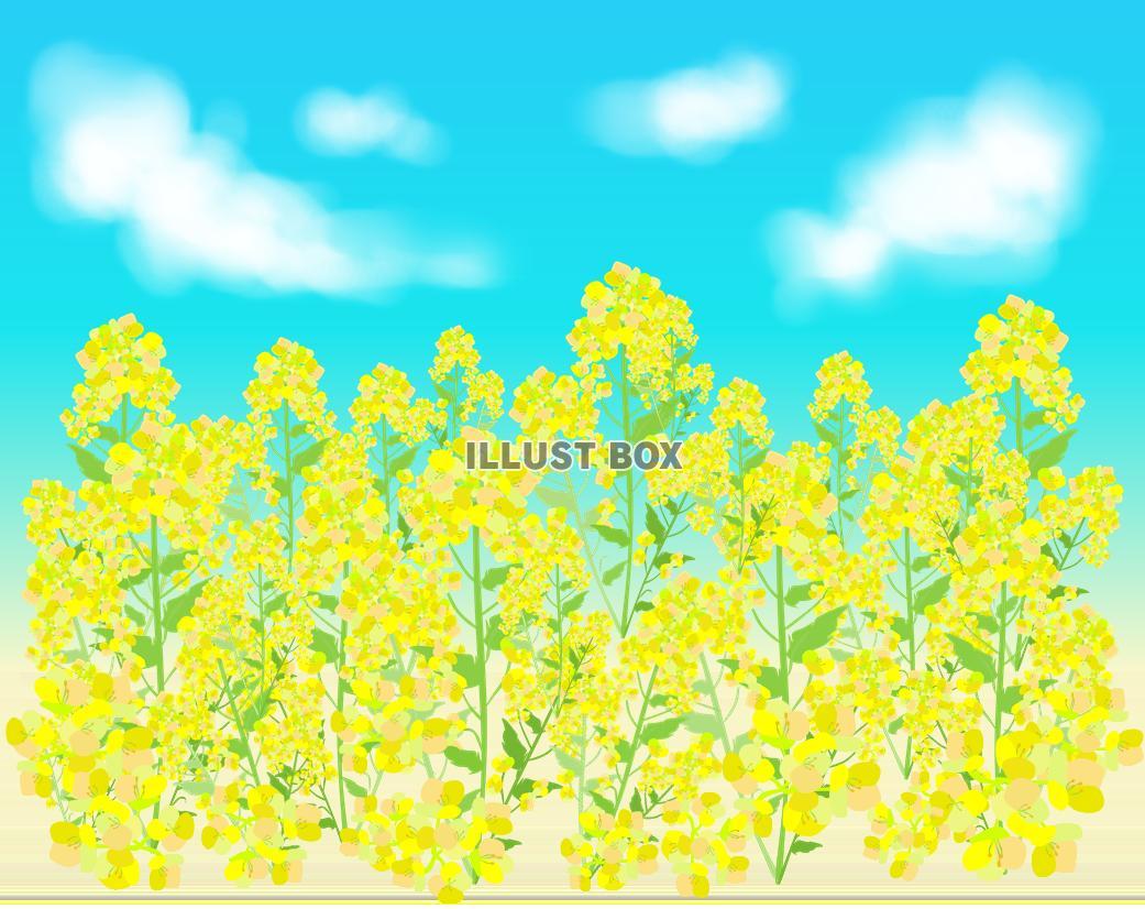 無料イラスト 菜の花畑と空と雲