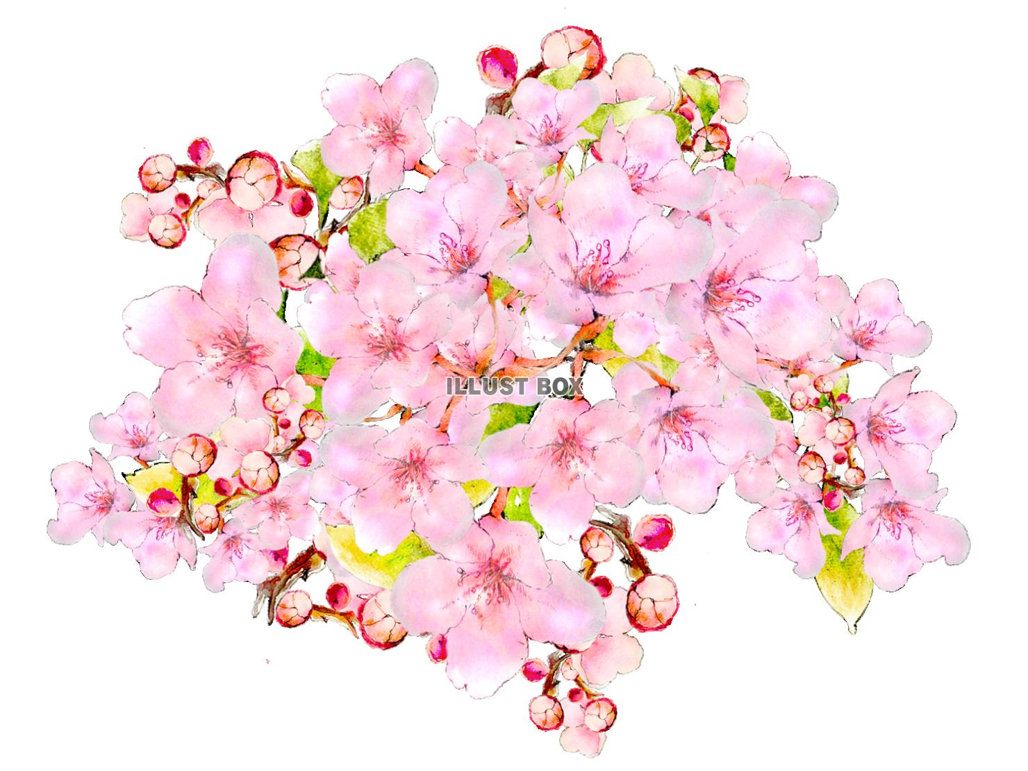 PNG 桜
