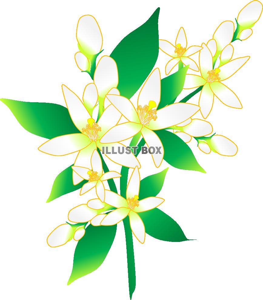 無料イラスト みかんの花