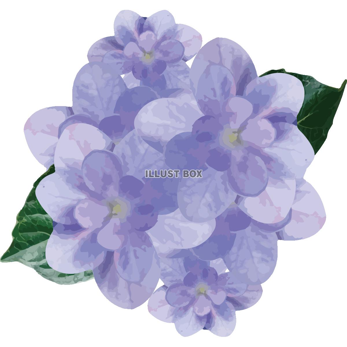 無料イラスト 紫陽花