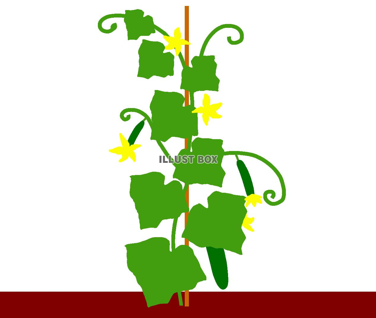 きゅうり 栽培