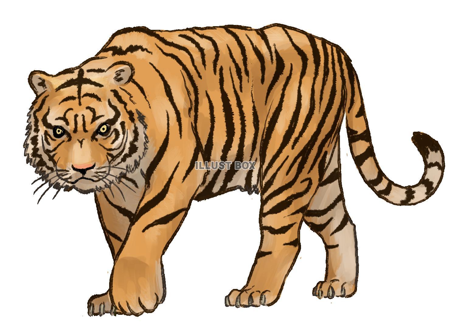 虎の画像 p1_21
